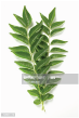 Stem of curry leaves